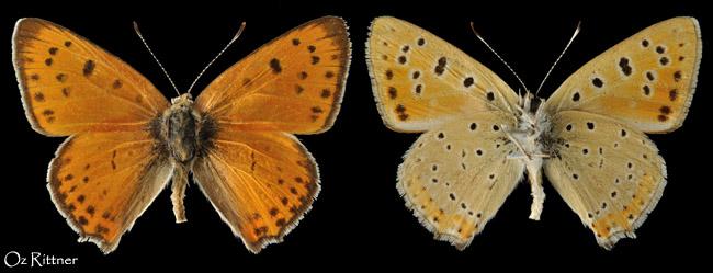 Lycaena asabinus
