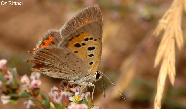 Lycaena phlaeas timeus