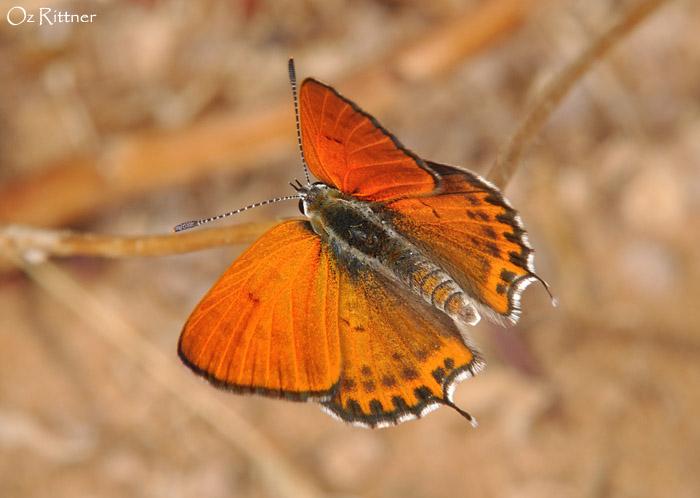 Lycaena thersamon omphale 2