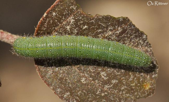 Madais fausta fausta larva