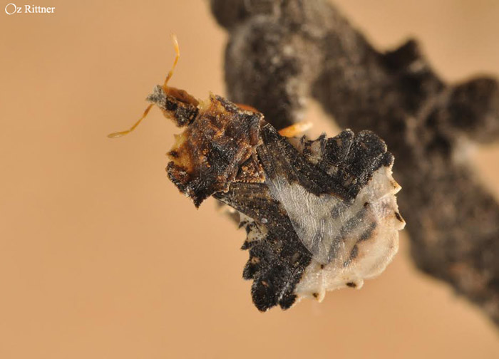 Phymata monstrosa 1