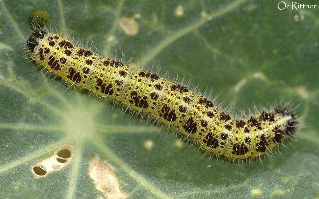 Pieris brassicae larva