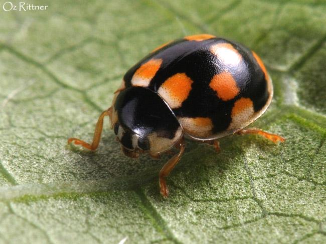 Propylea quattuordecimpunctata
