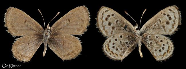 Pseudophilotes sinaicus