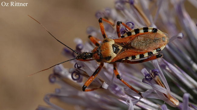 Rhinocoris punctiventris