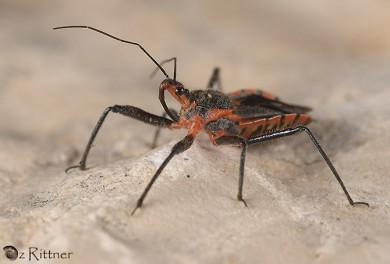Rhynocoris bipustulatus1