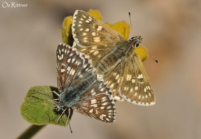Syrichtus tessellum nomas Mating