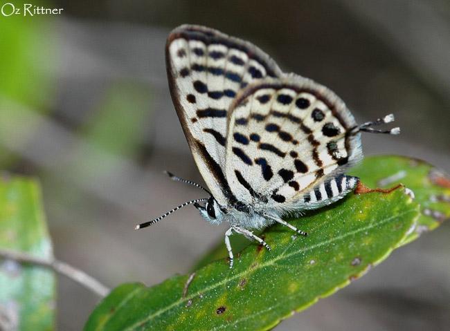 Tarucus balkanicus 1