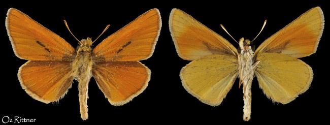 Thymelicus hyrax 3