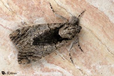 Ulotrichopus tinctipennis