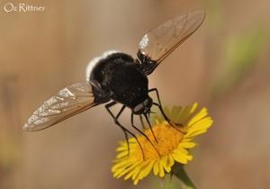 Bombylius discoideus Female