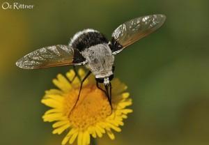 Bombylius discoideus Male
