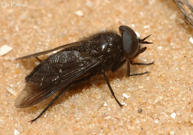 Dasyrhamphis nigritus