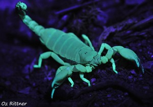 Scorpio maurus palmatus Under UV light