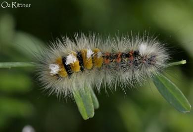 Orgyia dubia Larva