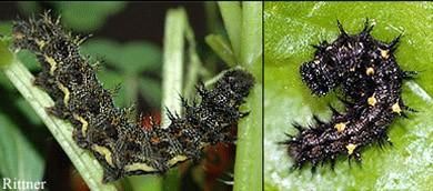 Vanessa atalanta Larva