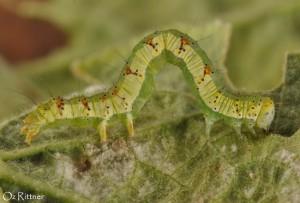 Xanthodes albago Larva 1