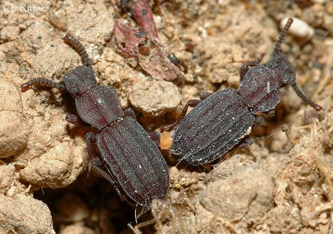 Adelostoma sulcatum cordatum