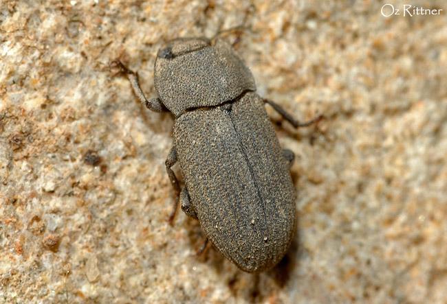 Gonocephalum rusticum