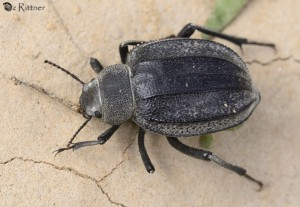 Pimelia interpunctata