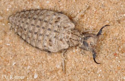 Acanthaclisis occitanica larva 2