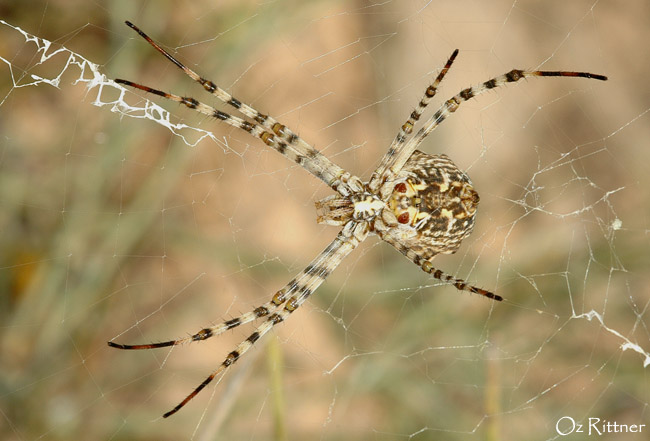 Argiope lobata Female 1