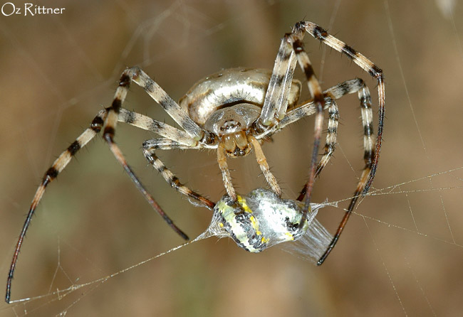 Argiope lobata Female feeding