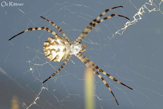 Argiope lobata Female