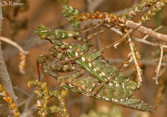 Blepharopsis mendica mating