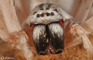 Cerbalus aravaensis 2