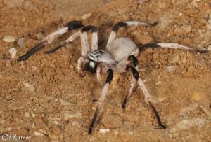 Cerbalus aravaensis