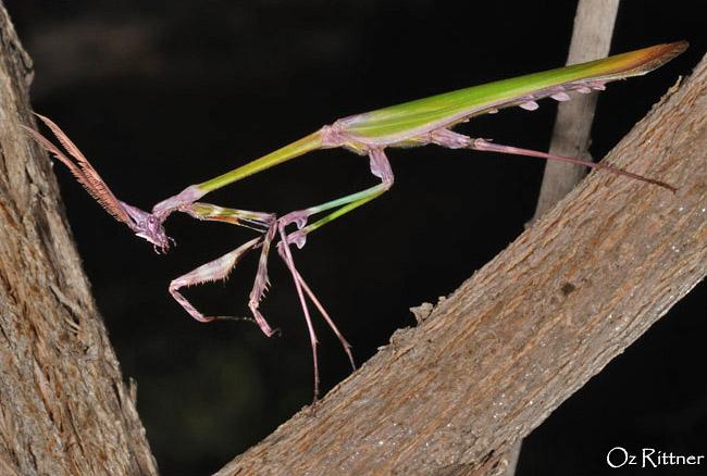 Empusa fasciata adult