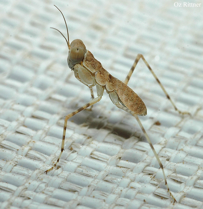 Eremiaphila brunneri