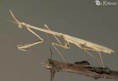 Hypsicorypha gracilis 1