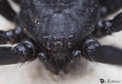 latrodectus-tredecimguttatus-2