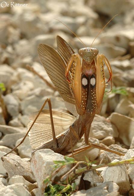 Mantis religiosa posing