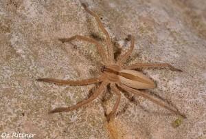Micrommata sp