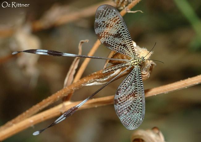 Nemoptera aegyptiaca 2
