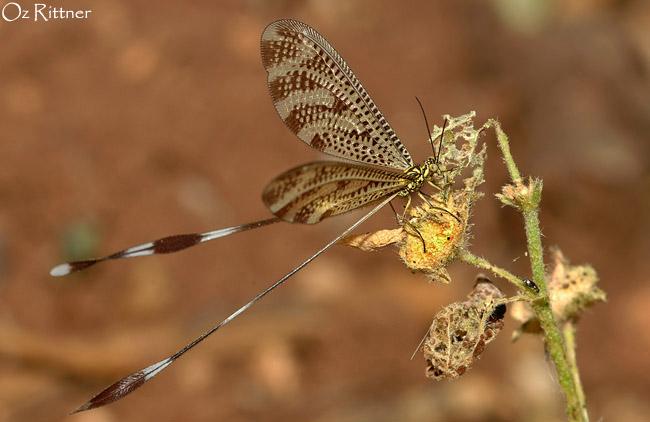 Nemoptera aegyptiaca