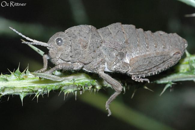 Ocneropsis bethlehemita