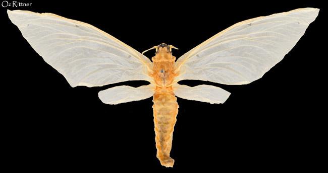 Palingenia orientalis