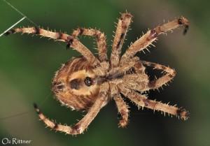 Pararaneus spectator 2