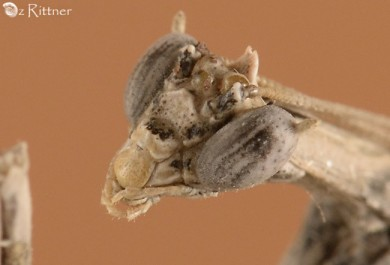 Pareuthyphlebs palmonii Head