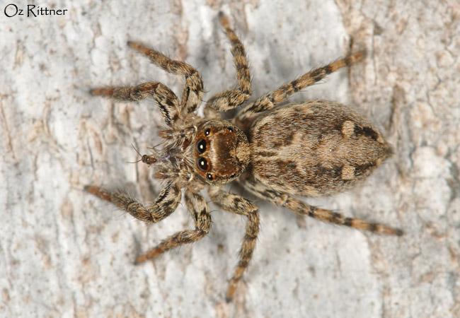Plexippus paykulli Female 2