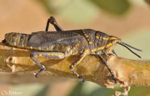 Poekilocerus bufonius bufonius