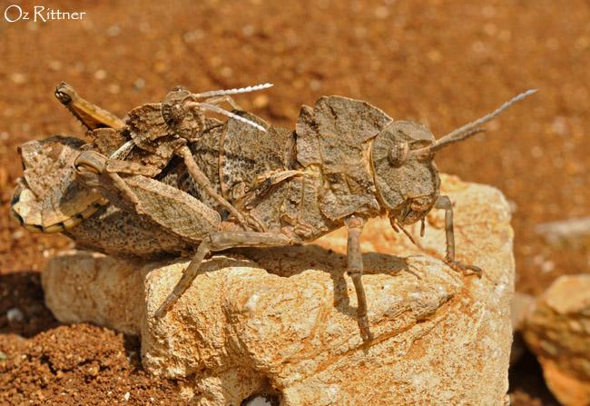 Prionosthenus syriacus