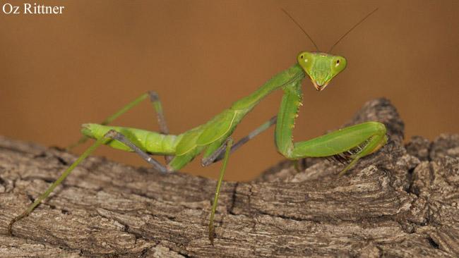 Sphodromantis viridis 1