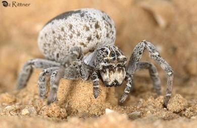 Stegodyphus lineatus 1