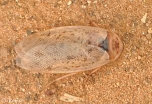 Hemelytroblatta marismortui