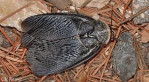 Polyphaga aegyptiaca